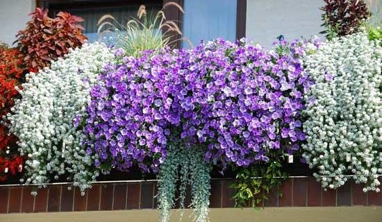 Выращиваем цветы на балконе