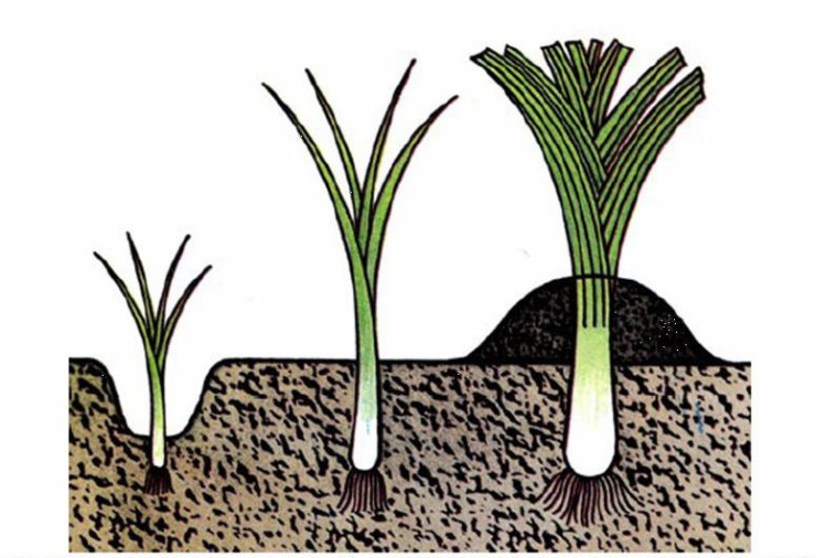рассада лука семенами