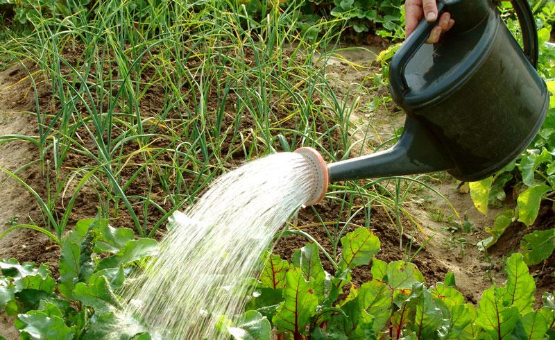полив свеклы в открытом грунте