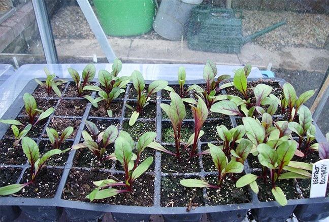 как сажать свеклу рассадой