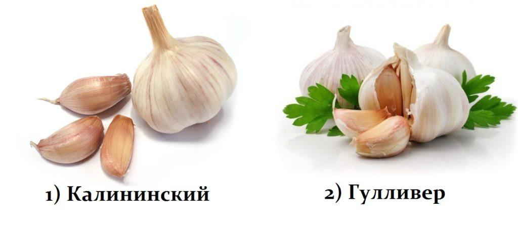 Сорта чеснока