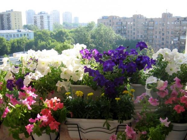 Однолетние и многолетние цветы