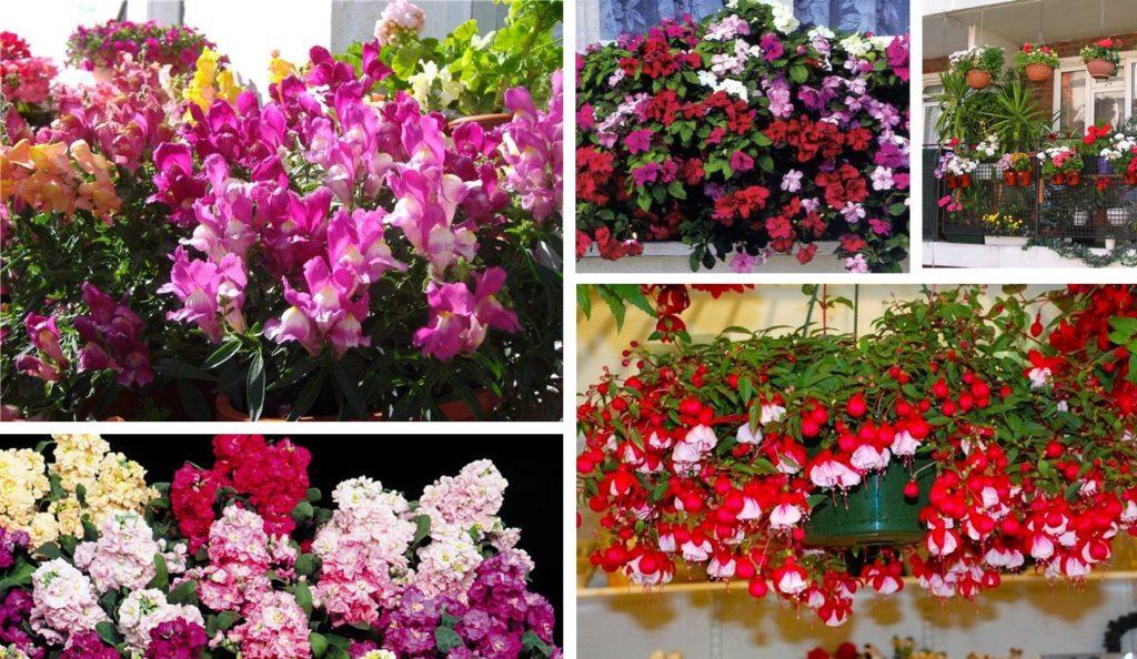 Светолюбивые балконные цветы