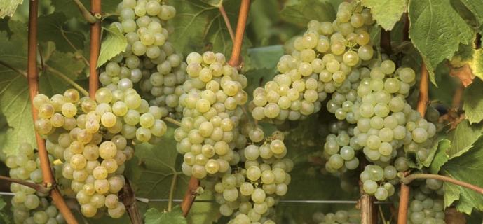 Как сохранить виноградную лозу зимой