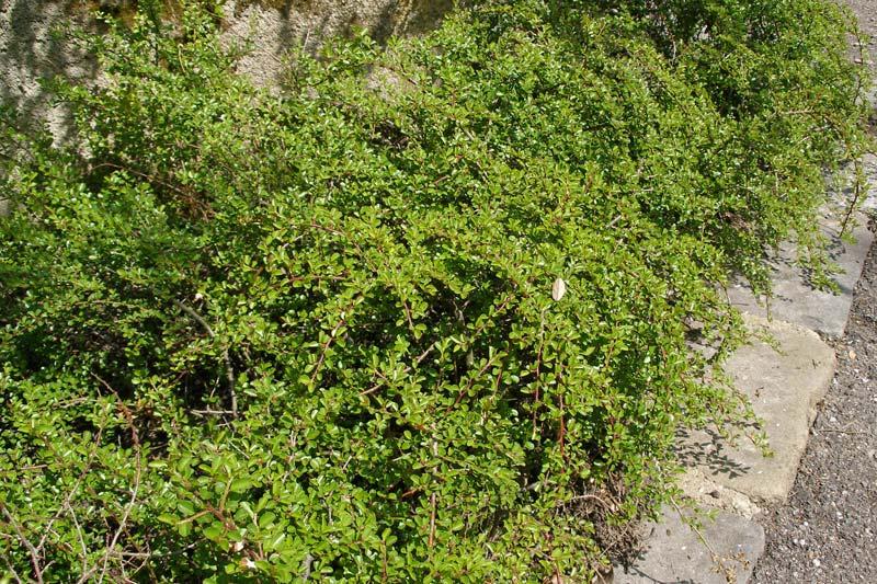 Размножение через зеленые и одревесневевшие черенки
