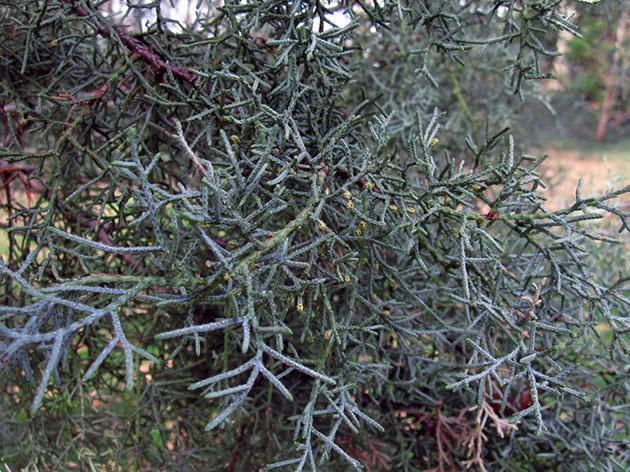 Выращивание кипариса из черенков