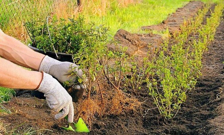 Как правильно посадить кизильник