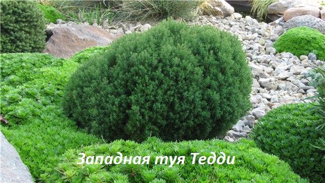 Западная туя Тедди