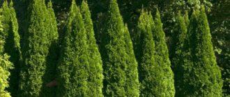 Туя – вечнозеленое дерево жизни