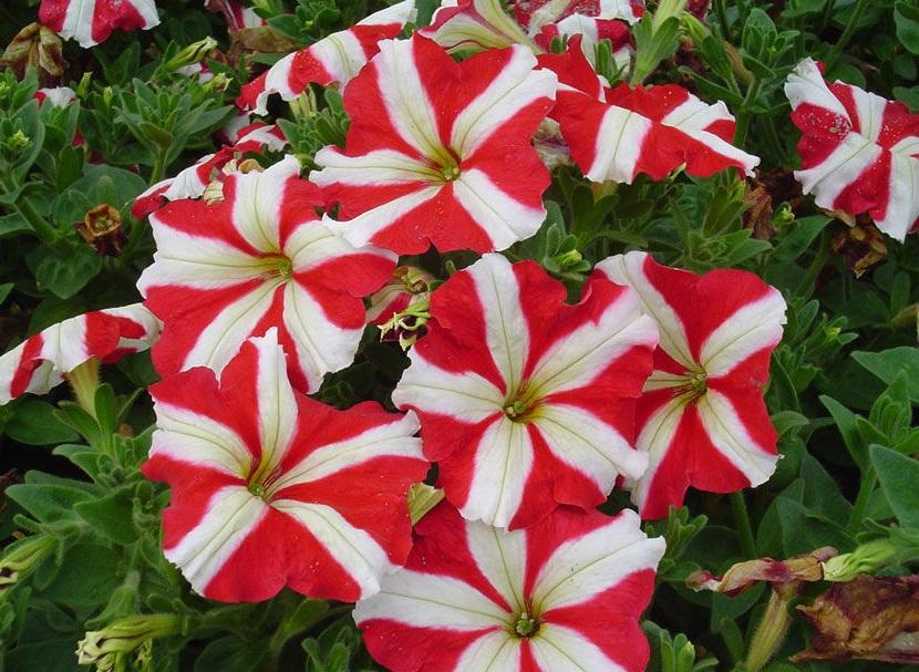 Сорта многоцветковой петунии