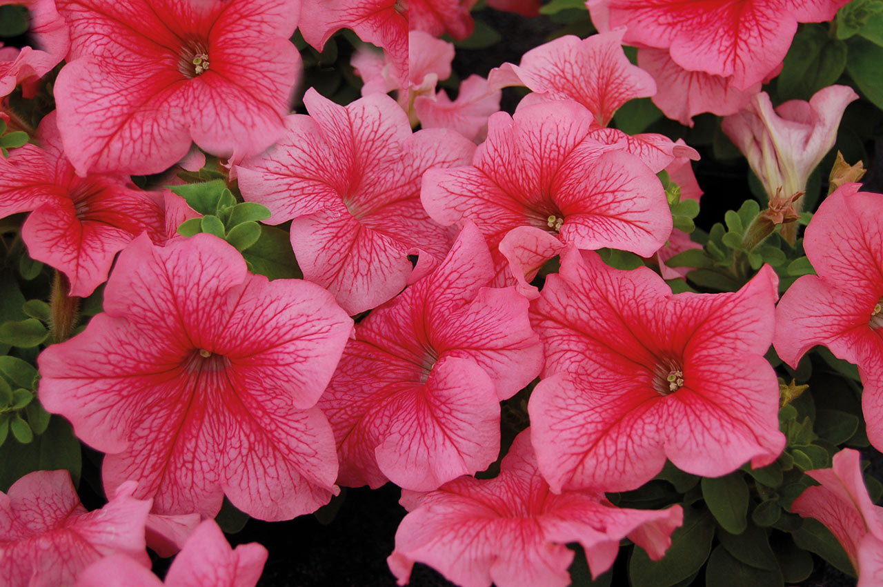 Популярные сорта крупноцветковой петунии