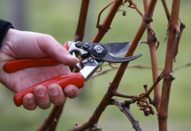 как обрезать малину на зиму