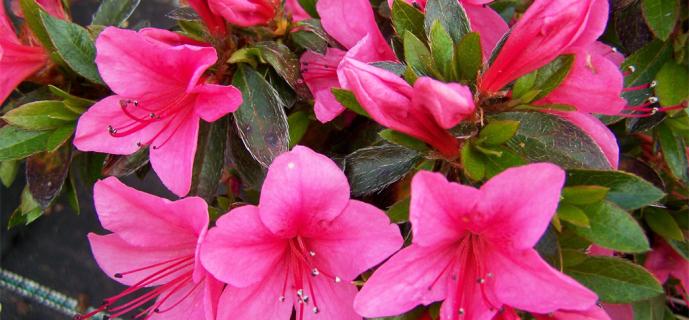 Уход за цветком азалия в домашних условиях