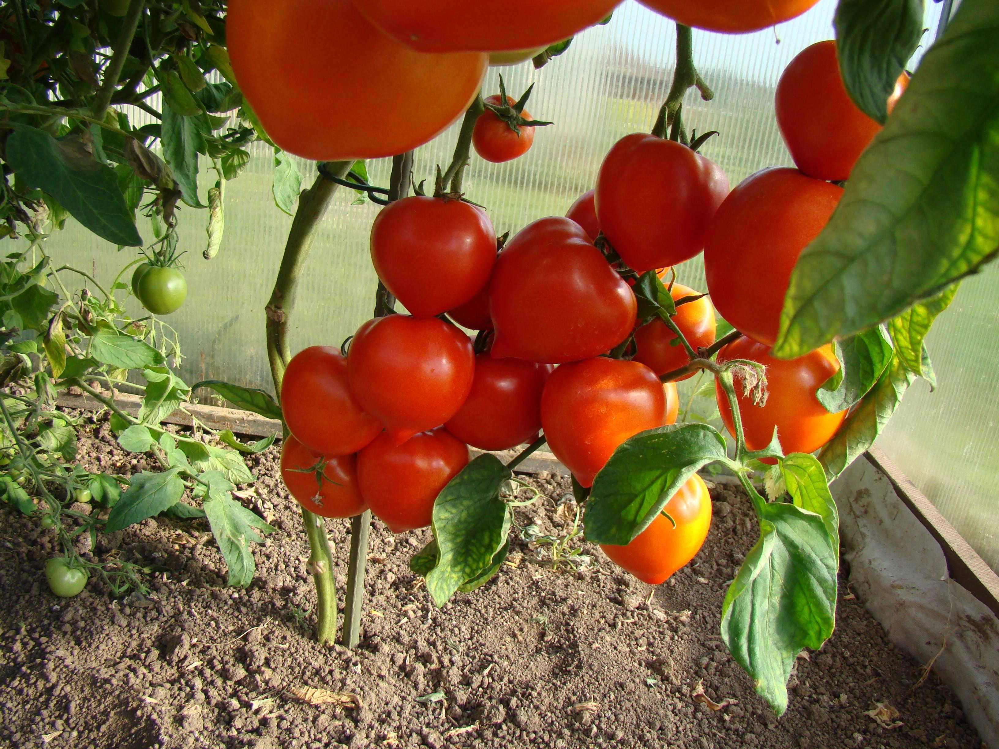 Что лучше посадить после томатов?