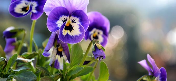 Анютины глазки: выращивание и посадка без ошибок