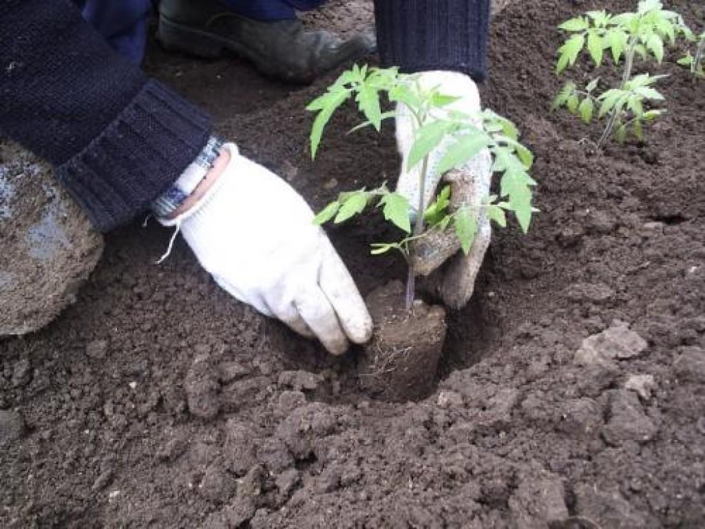 Как сажать рассаду томатов для открытого грунта