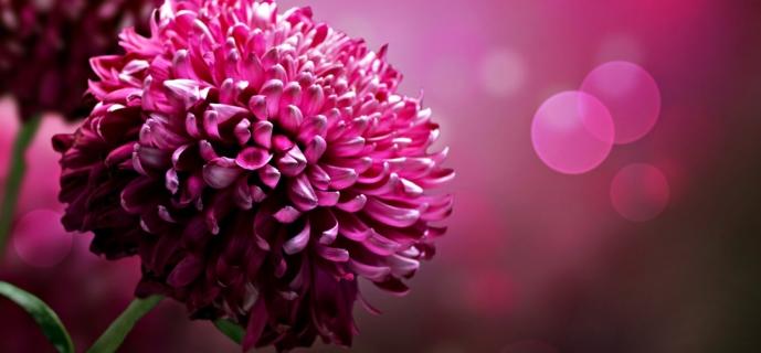 Выращивание астры: руководство по созданию идеального цветка