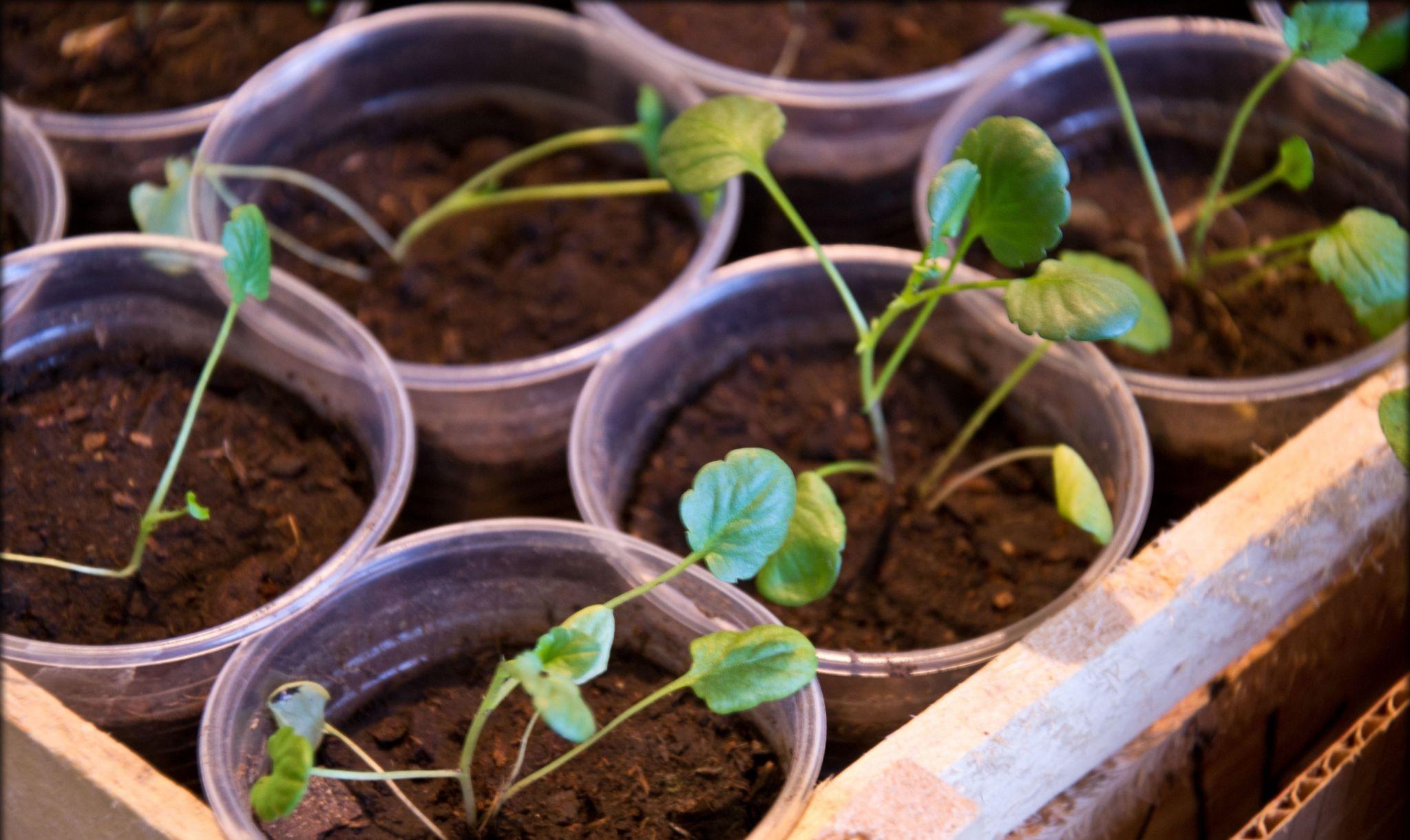 Виола выращивание рассады 73