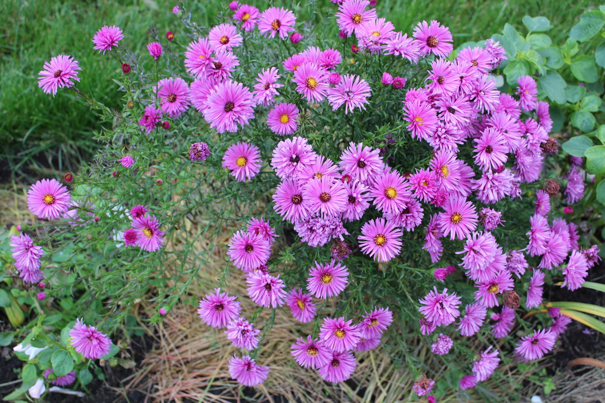 Фото садовых цветов для урала