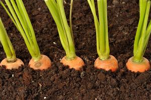 как подкармливать и ухаживать за морковью