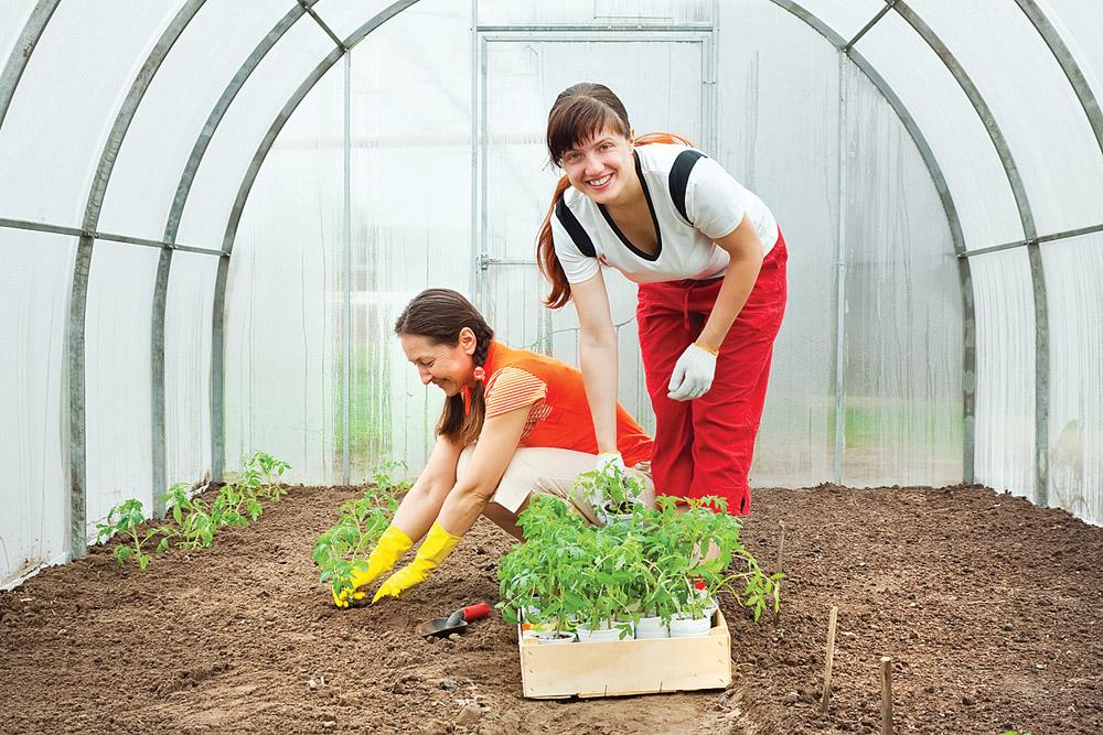 Когда высаживать помидоры в теплице