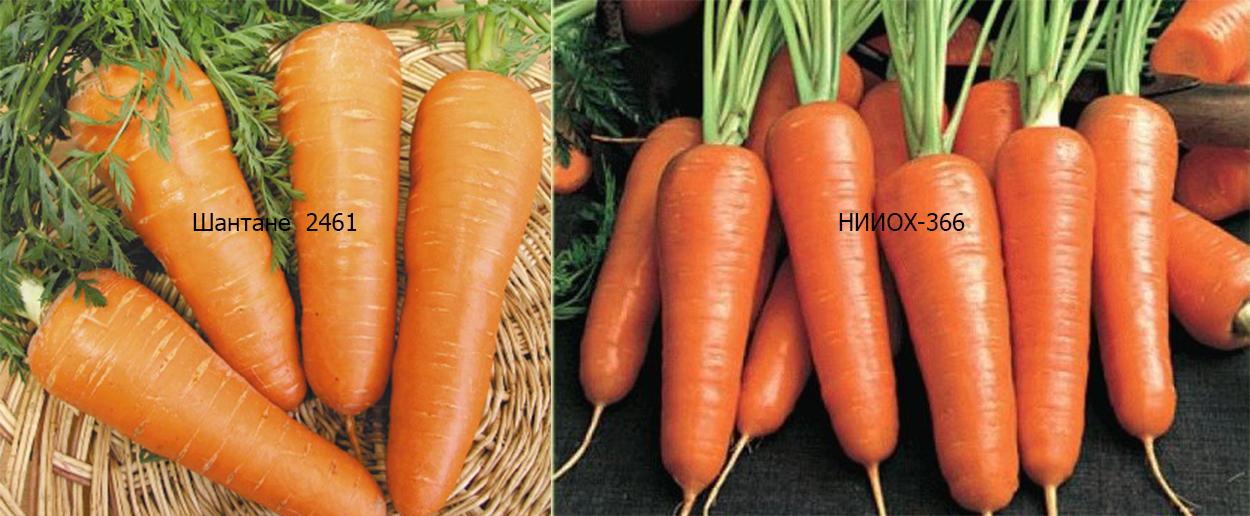 Какую морковь посадить весной