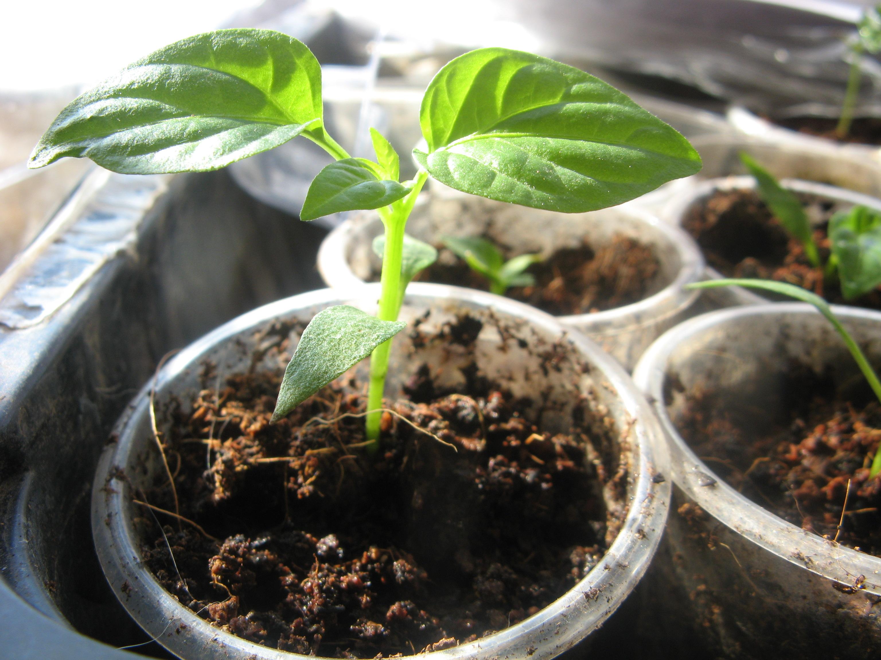 Условия для выращивания перца 818