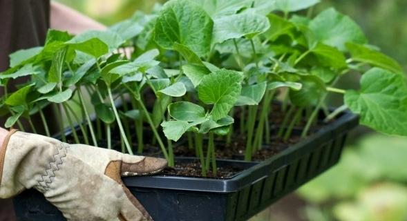 Посадка огурцов: раскрываем секреты богатого урожая