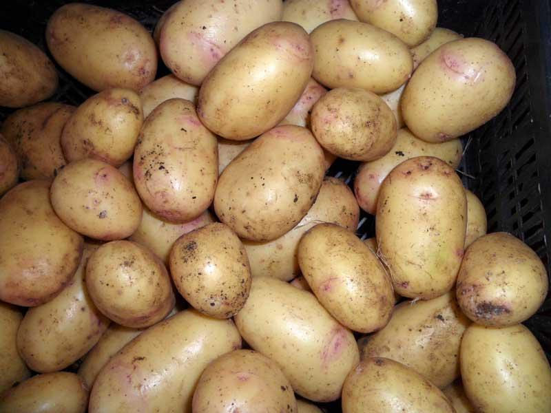 Сорта семенного картофеля